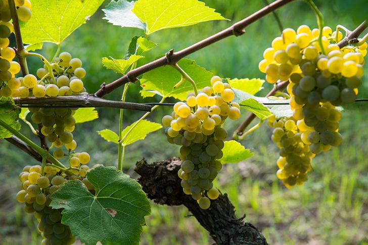 Hogyan készül a magyar szőlészet a klímaváltozásra?