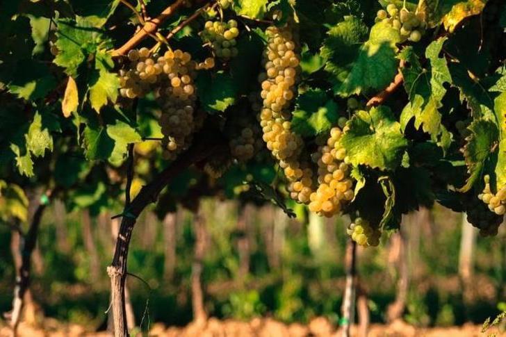 2016: kevés, de kitűnő borok éve