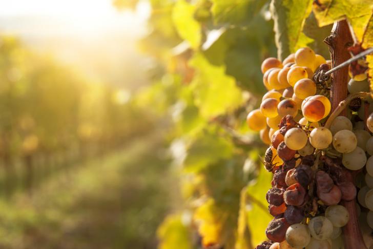 A megújulni képes történelmi bor