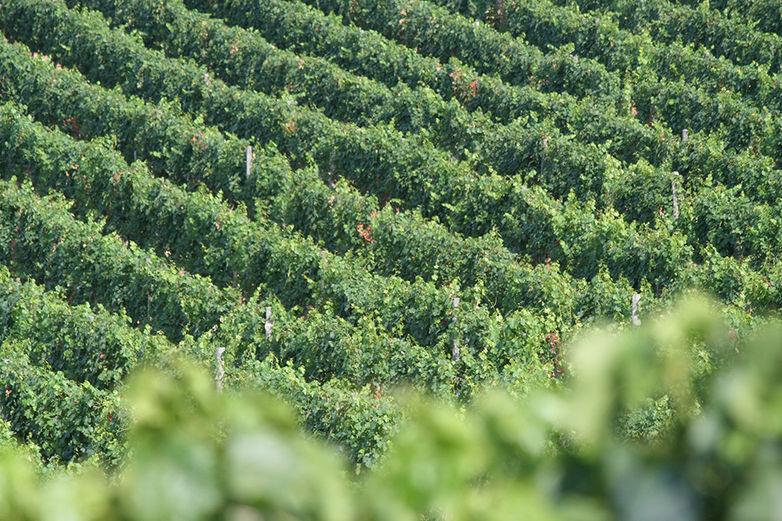 A bor, amely úgy fejlődik, mint egy kapcsolat