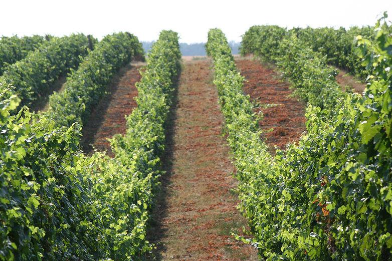 Bősz Adrián: A rajnai rizling egy kulturált, intelligens szőlőfajta