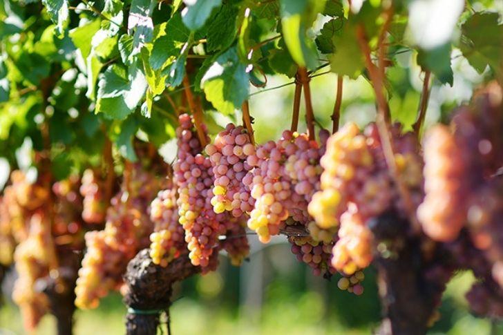 Az olasz szőlőfajták sokszínűsége