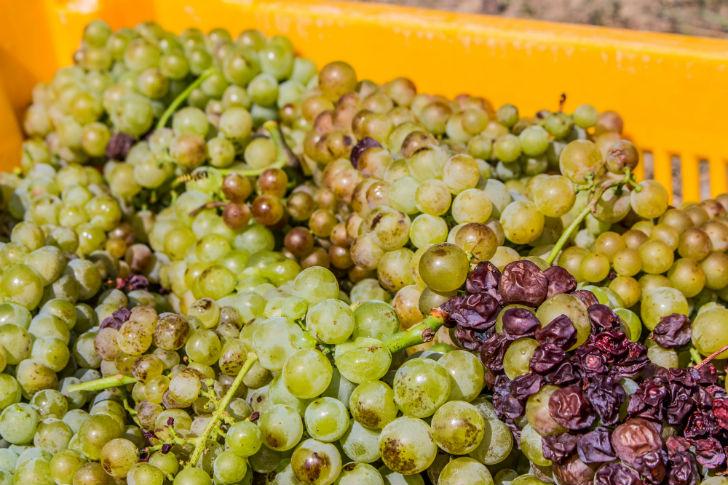 Természetes úton lesz igazán ellenálló a szőlő