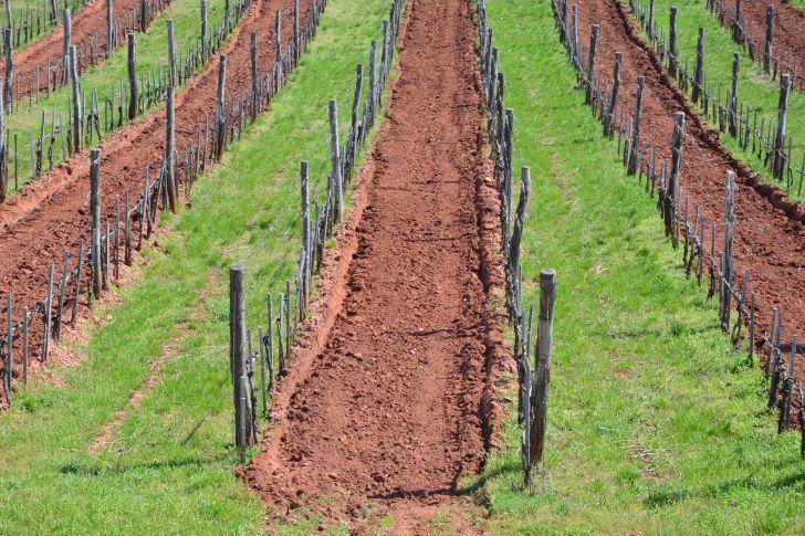 Jásdi: Ha nem történik semmi, a balatoni szőlő eltűnik