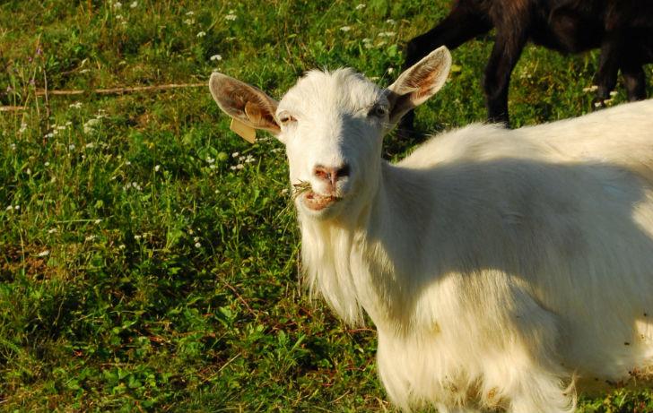 Hegyi tehenek és kecskék