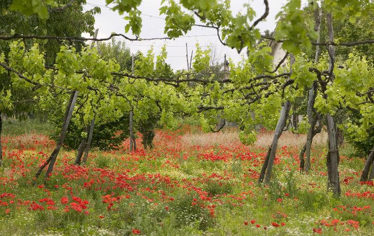 A leglassabban érő olasz szőlőfajta