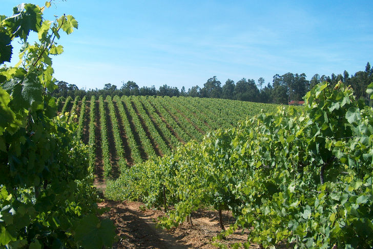 Vinho verde, Portugália