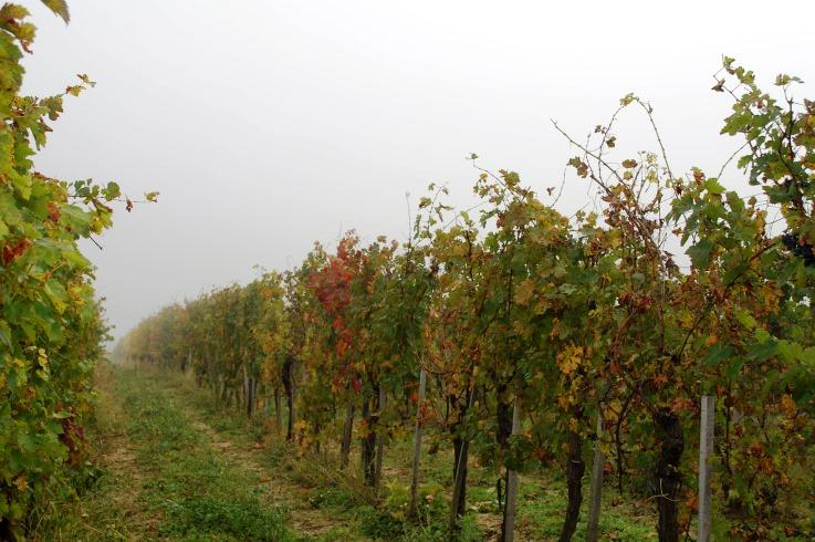 Az új klónok adják a régi jó minőségű borokat