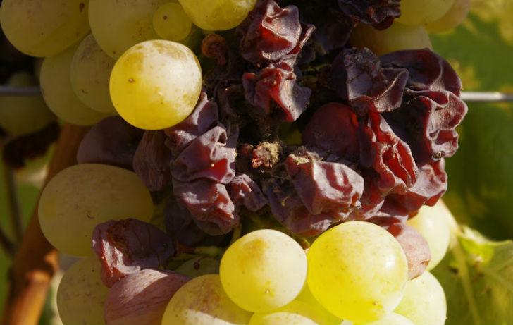 Aszú a világ három legtanulságosabb bortípusa között