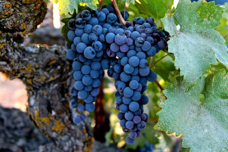 Hová lettek az őshonos szőlőfajták a Napa-völgyből?